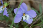 LCSP Horseshoe Mt Trail Birds Foot Violet