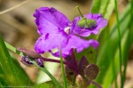 LCSP Horseshoe Mt Trail Spiderwort