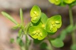 LCSP Horseshoe Mt Trail Wood Spurge