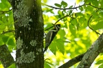 LCSP Horseshoe Mt Trail Yellow-Bellied Sapsucker