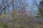 HSNP Promenade View of West Mountain Red Bud Tree