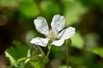 Cedar Glades Park Blue Trail Berry Blossom