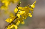 HSNP Promenade Yellow Flowering Bush