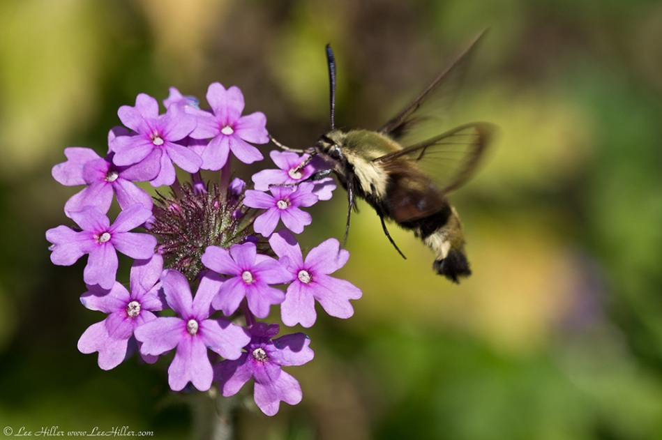 Cedar Glades Blue Trail Rose Verbena Hummingbird Moth
