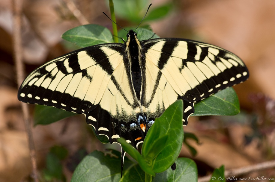 HSNP Floral Trail Eastern Tiger Swallowtail