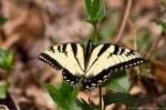 HSNP Floral Trail Eastern Tiger Swallowtail