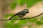 LCSP Horseshoe Mt Trail Carolina Chickadee