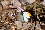 HSNP Hot Spring Mountain Trail Falcate Orangetip