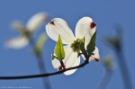 Cedar Glades Park Blue Trail Dogwood Blossoms