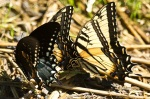 Cedar Glades Park Eastern Tiger Swallowtail Butterfly