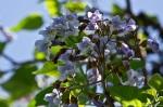 HSNP Arlington Lawn Foxglove Tree
