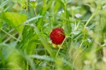 HSNP Fountain St Lawn Wild Strawberry