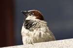 Hot Springs Male House Sparrow