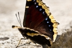 HSNP Fountain St Mourning Cloak Butterfly