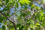 HSNP Chinaberry Tree Butterflies