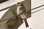 Hot Springs Female House Sparrow