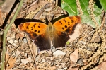 HSNP Dead Chief Trail Question Mark Butterfly