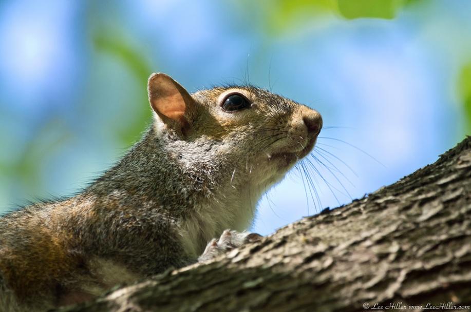 HSNP Promenade Squirrel