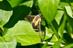 HSNP Carriage Road Clearwing Hummingbird Moth