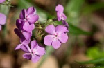 HSNP Floral Trail Phlox