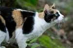 HSNP Tufa Terrace Trail Feral Calico Cat
