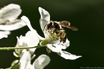 HSNP Lower Dogwood Trail Honey Bee on Dewberry