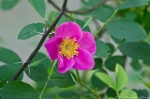 HSNP Tufa Terrace Trail Wild Rose