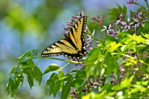 HSNP Chinaberry Tree Male Eastern Tiger Swallowtail