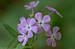 Cedar Glades Park Black Trail Spring Phlox