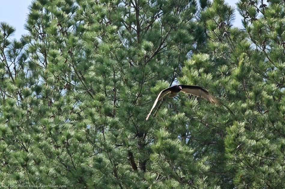 Cedar Glades Park Blue Trail Turkey Vulture Flight