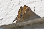 HSNP Hot Springs Mt Trail Hackberry Emperor Butterfly
