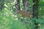 HSNP West Mt.Canyon Trail Whitetail Deer Doe