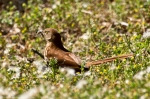 HSNP West Mt.Trail Brown Thrasher