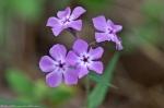 Cedar Glades Park Blue Trail Phlox