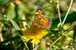HSNP Fountain St Lawn Pearl Crescent Butterfly