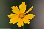 HSNP Floral Trail Lance Leaf Coreopis