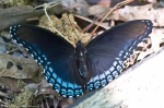 HSNP Hot Springs Mt Trail Red Spotted Purple Butterfly