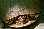 HSNP West Mt.Top Trail Male Box Turtle