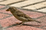 HSNP Promenade Female House Sparrow Insect Feast