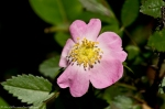HSNP West Mt.Top Trail Wild Rose