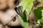 HSNP Hot Springs Mountain Trail Summer Azure Butterfly