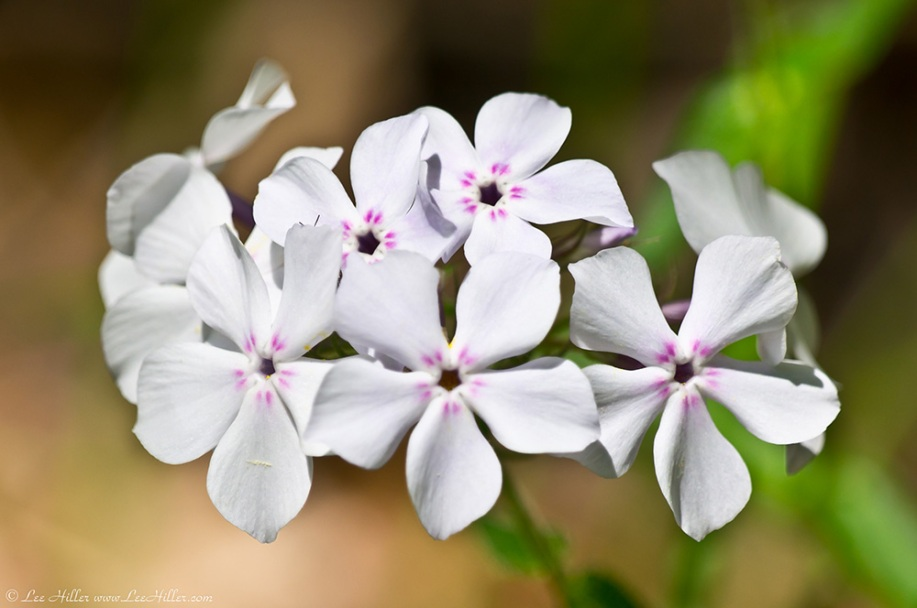 HSNP Hot Springs Mountain Trail White Phlox