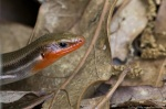 HSNP Goat Rock Trail Broad-Headed Skink