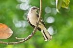 HSNP Promenade Mockingbird Insect Feast