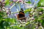 HSNP Chinaberry Tree Red Admiral Butterfly