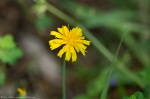 HSNP Goat Rock Trail Potato Dandelion