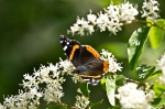 Cedar Glades Park Blue Trail Red Admiral Butterfly