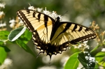 Glades Park Black Trail Eastern Tiger Swallowtail Butterfly