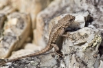 HSNP Goat Rock Trail Baby Female Prairie Lizard
