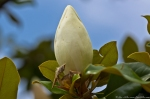 Hot Springs National Park 2012 First Magnolias Bud